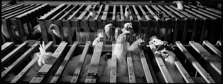 Europe/France/Bourgogne/71/Saône-et-Loire/Env de Louhans: Elevage de Poulets de Bresse AOC Poulets en phase d'engraissage dans les épinettes