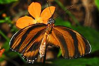 Orange Tiger, Dryadula phaetusa