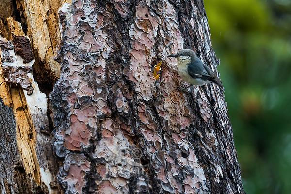 Pygmy Nuthatch (Sitta pygmaea) feeding young in cavity nest in tall ponderosa pine tree snag.  Western U.S., June.