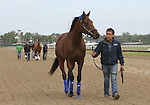 September 19, 2014: Pennsylvania Derby contender Candy Boy heads to the paddock for a schooling session on the day before the race at Parx Racing in Bensalem, PA  ©Joan Fairman Kanes/ESW/CSM