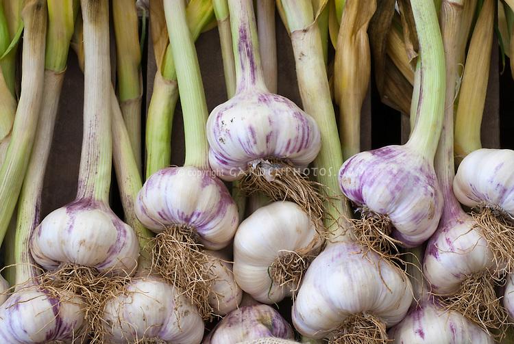 Garlic Provence Wight Allium sativum purple, softneck type