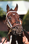 31 May 2010: Kensei before the Metropolitan Mile Handicap at Belmont Park in Elmont NY.