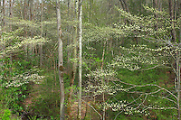 Blooming dogwoods and sycamore trees, Great Smoky Mountains National Park, Tennessee / North Carolina