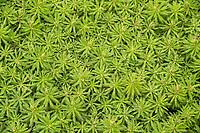 Giant moss, Dawsonia Superba, South Westland, UNESCO World Heritage Area, New Zealand, NZ