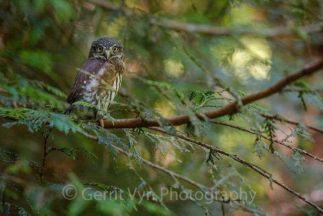 Northern Pygmy-Owl (Glaucidium gnoma) fledgling moments after leaving the nest. Multnomah COunty, Oregon. May.