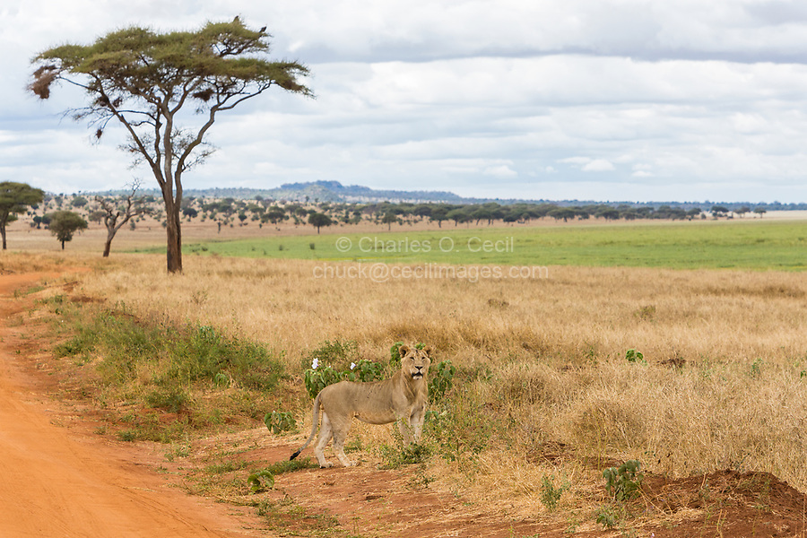 Tanzania.  Tarangire National Park.  Young Male Lion Calling for Other Members of his Family Group.