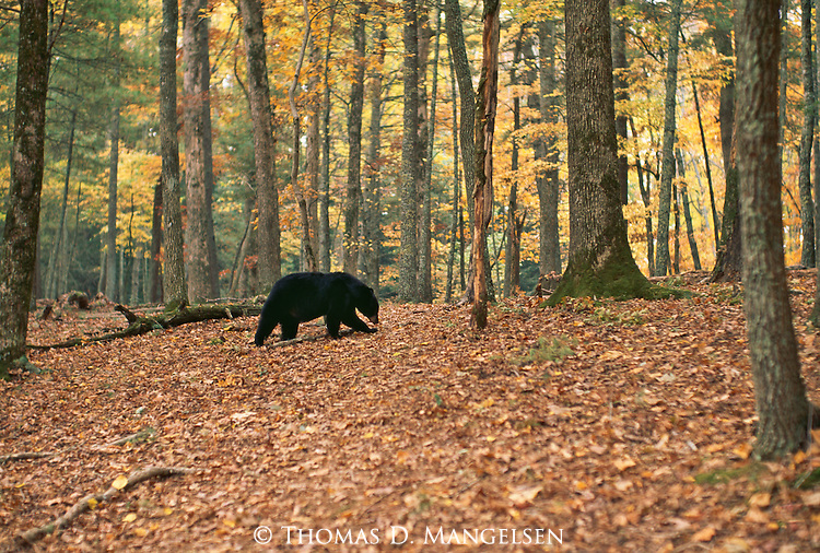 A black bear walks through a forest in Great Smoky Mountains National Park, Tennessee.