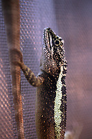 An unidentified species of lizard in Beijing Zoo.