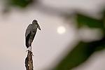 Asian Openbill (Anastomus oscitans) juvenile, Diyasaru Park, Colombo, Sri Lanka