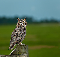 Great Horned Owl perched on fence post in Florida