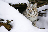 Young Bobcat peering out from under a snow covered log - CA