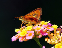 Southern Broken-Dash Skipper