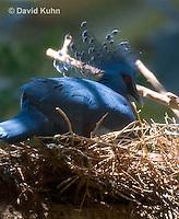 0205-1102  Nesting Western Crowned Pigeon, Goura cristata  © David Kuhn/Dwight Kuhn Photography