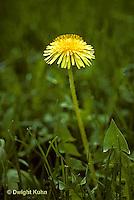 DN01-003z  Dandelion - spring - Taraxacum officinale