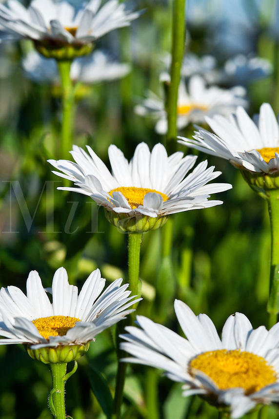 Field of Common Daisies.