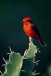 Vermillion flycatcher perches on cactus, Llanos Region, Venezuela.