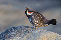 Dusky Grouse (Dendragapus obscurus) displaying to attract a mate in spring. The normally reclusive males often use prominent perches where they call and perform flutter jumps . Okanogan County, Washington. April.