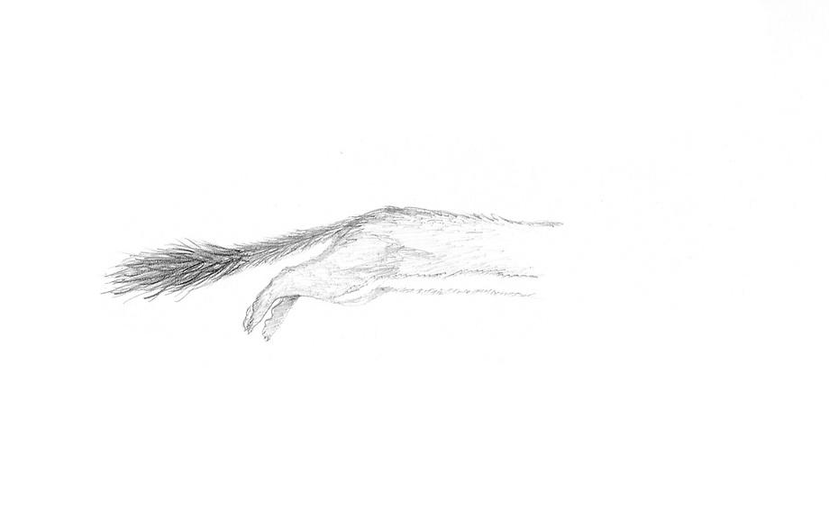 Hermelijn (Mustela erminea), spelende jongen