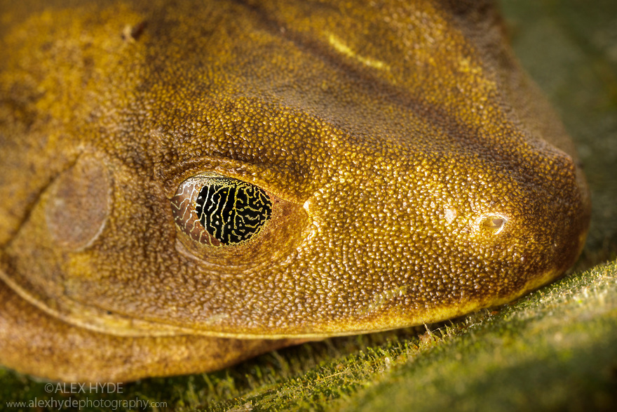 Nictitating membrane covering eye of Map Treefrog (Hypsiboas geographicus). The membrane affords camouflage and protection from dryness whilst allowing the frog to see. Manu Biosphere Reserve, Amazonia, Peru. November.