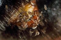 Fächerflügler, Larve, Larven am Hinterleib einer Biene, parasitiert auf einer Wildbiene, Sandbiene, Andrena, Parasit, Parasitismus, Stylops spec. , Strepsiptera, Neoptera, twisted-wing parasites, larva, larvae, Les strepsiptères