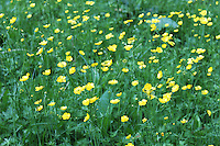 Stock photo: A field of buttercup yellow wild flowers in the great smoky mountains national park.