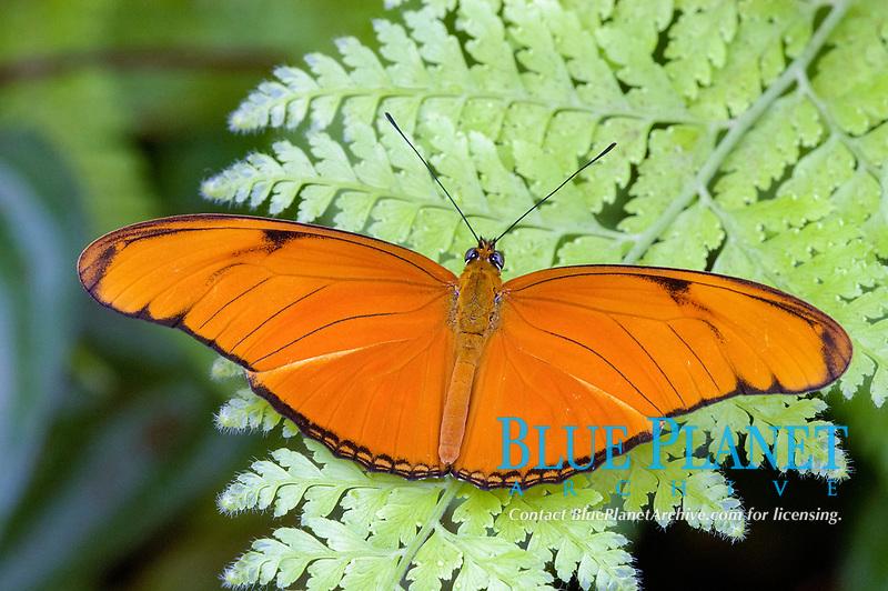 Julia Heliconian Butterfly (Dryas julia)
