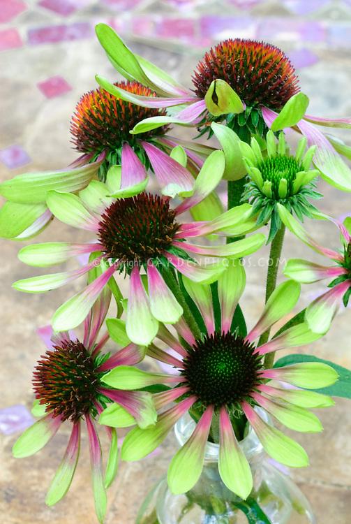 Echinacea purpurea Green Twister cut flowers
