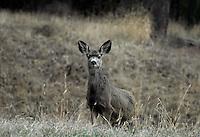 Yearling mule deer peeking over a ridge.