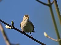 Fitis, in blühendem Apfelbaum, Fitis-Laubsänger, Phylloscopus trochilus, Willow Warbler, Pouillot fitis