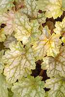 Heuchera 'Ginger Ale' foliage garden plant showing many mottled leaves in September colors