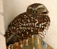 This adult burrowing owl roosted, for years, on an electrical box at a McAllen, TX shopping center
