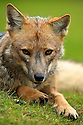 A Patagonian gray fox rests on a grass bank in Tierra del Fuego.