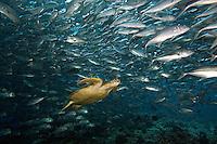 Green sea turtles, Chelonia mydas, and schooling bigeye jacks, Caranx sexfasciatus.  Sipidan Island, Malaysia.<br />