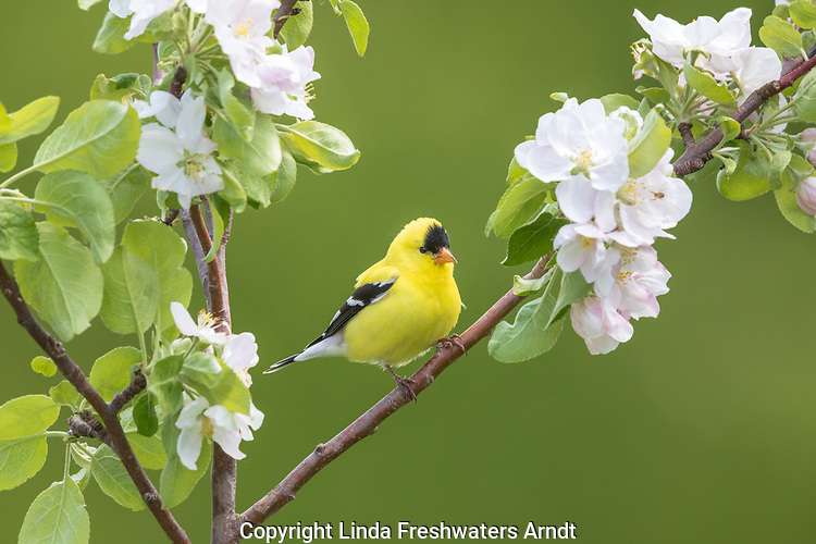 Male American goldfinch perched in a flowering apple tree in northern Wisconsin.