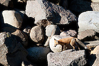 Red fox hunting in rock pile.