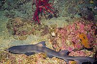 banded houndshark, Triakis scyllium, Izu Ocean Park, Sagami bay, Izu peninsula, Shizuoka, Japan, Pacific Ocean