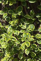 Hydrangea anomala subsp. petiolaris 'Miranda' variegated climbing hydrangea foliage