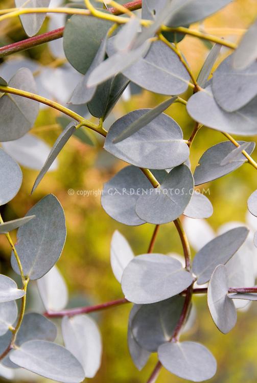 Eucalyptus gunnii Silver Drop foliage aka Eucalyptus gunny
