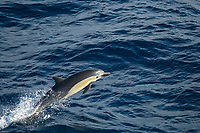 short-beaked common dolphin leaping, Delphinus delphis, Mexico, Pacific Ocean