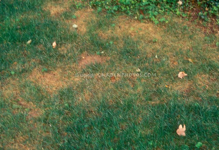 Pythium blight in lawn grass