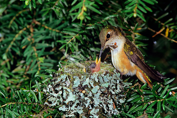 Rufous hummingbird (Selasphorus rufous) nest--mother feeding one of two chicks, Pacific NW.