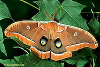 LE41-022b  Polyphemus Moth - adult male, note antennae - Antheraea polyphemus