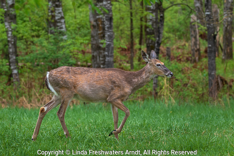 A pregnant white-tailed doe stomping her foot.
