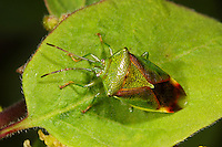 Kleine Bunte Blattwanze, Elasmostethus minor, Stachelwanzen, Acanthosomatidae