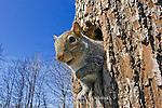 Eastern Gray Squirrel, Sciurus carolinensis, at den tree