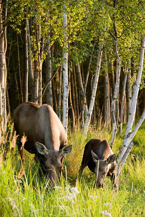 Mama moose and calf feeding along the Tony Knowles Coastal Trail at sunset, late summer, Anchorage, Southcentral Alaska, USA.
