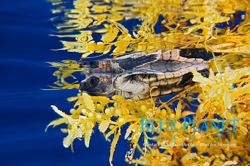 loggerhead sea turtle hatchling, Caretta caretta, sheltering among sargassum weed, Sargassum natans, a brown algae, for protection in open water, Sargasso Sea, North Atlantic Ocean