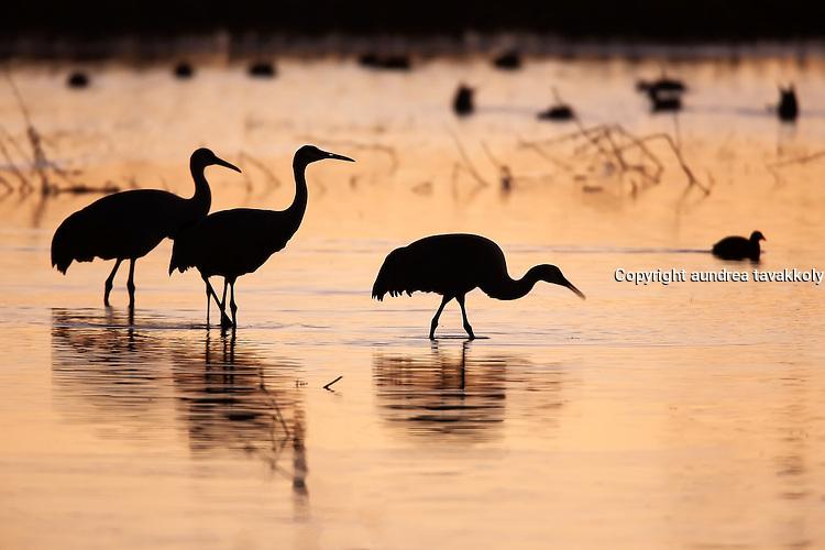 Sandhill cranes silhouette wading at sunset