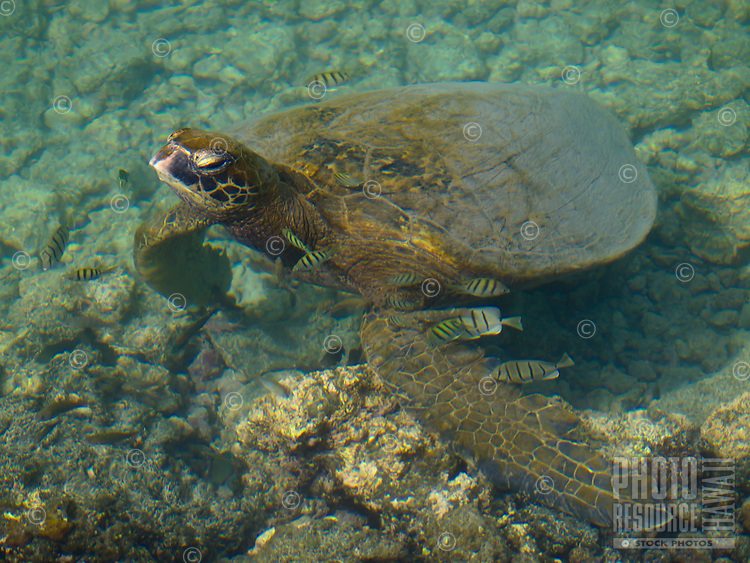 Sergeant fish swim around a green sea turtle (or honu) as it sleeps just under shallow reef waters at Waikoloa, Big Island.