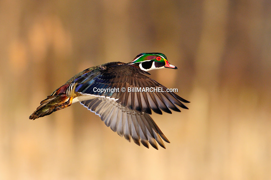 00360-116.03 Wood Duck drake in flight low against marsh background.  Fly, hunt, action, color, jump.
